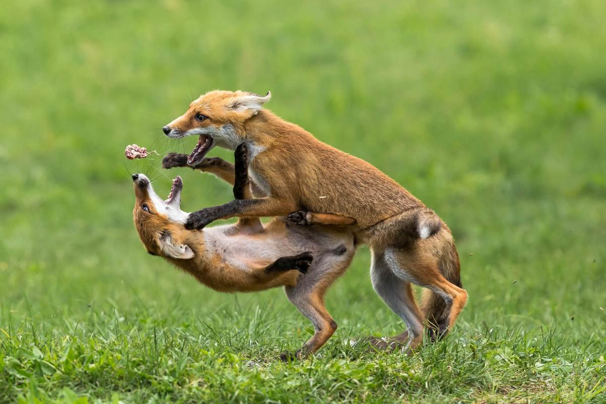 Two fox cubs battle it out over a piece of chicken in stunning snaps