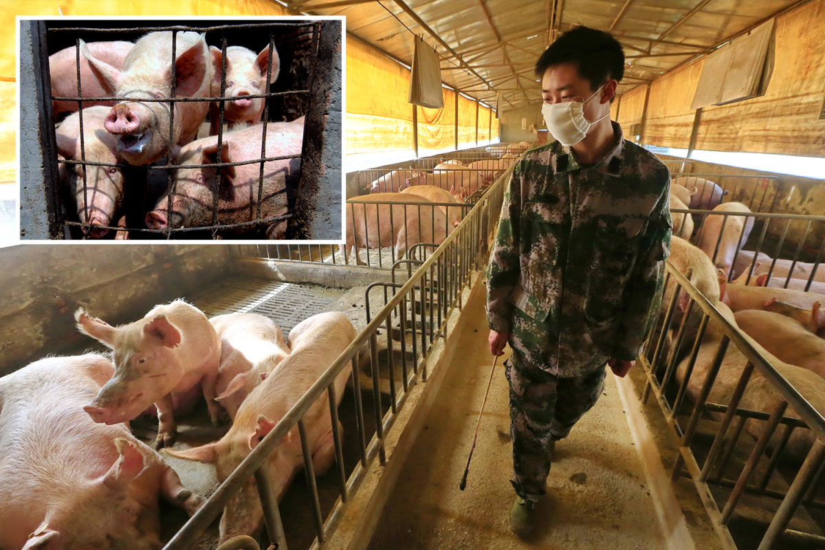 New 'extremely dangerous' 'G4' Chinese swine flu 'highly adapted to spread to humans' sparking fresh pandemic fears