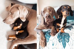 Mini dachshund Frank helps 'inseparable' pal Arnold beat anxiety after being mauled as a pup