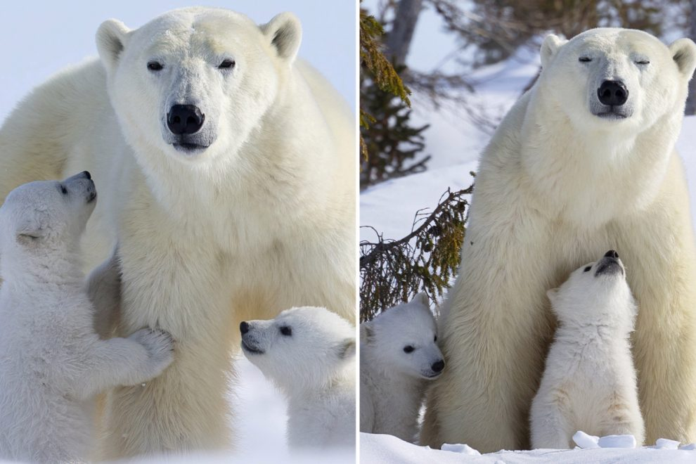Adorable polar bear cubs leave their den for the first time to play in the snow